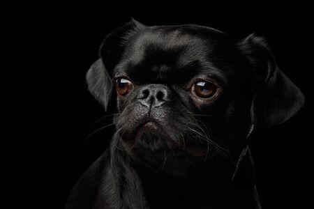 Photo pour Gorgeous Portrait of Petit Brabanson Dog Looking at side on isolated black background, profile view - image libre de droit