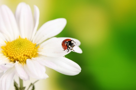 Ladybud sitting on chamomile flower on green background
