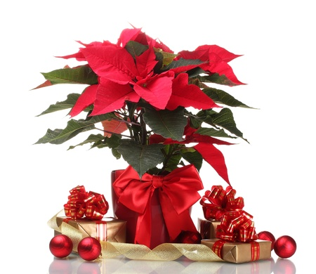 beautiful poinsettia in flowerpot, New Year's balls and gifts isolated on white