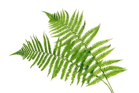 Two green leaves of fern isolated on whiteの写真素材