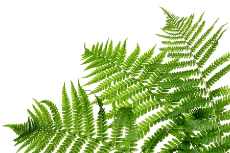 Three green leaves of fern isolated on whiteの写真素材