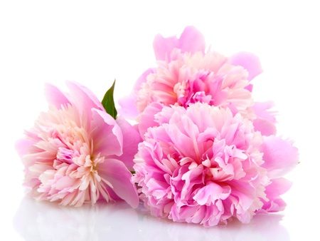 Photo for pink peonies flowers isolated on white - Royalty Free Image
