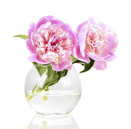 Three pink peonies in vase isolated on white