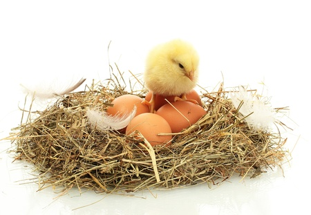 beautiful little chicken and eggs in nest, isolated on the white