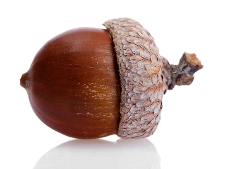brown acorn, isolated on white