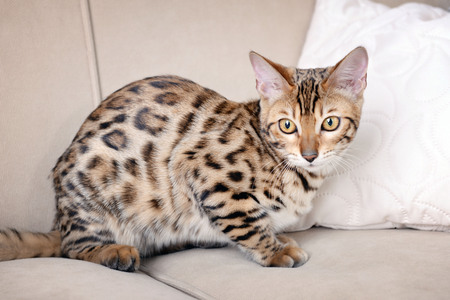 Photo pour Beautiful Bengal kitten on sofa in room - image libre de droit
