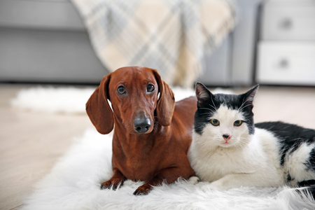 Photo pour Beautiful cat and dachshund dog on rug, indoor - image libre de droit