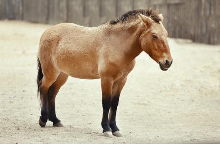 Mongolian wild horse in zoological garden