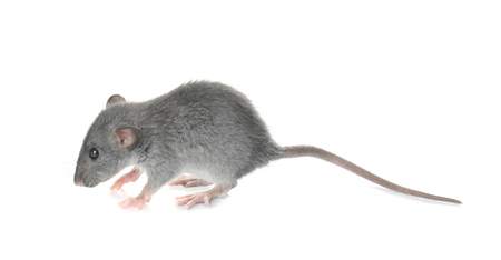 Foto de Cute funny rat on white background - Imagen libre de derechos