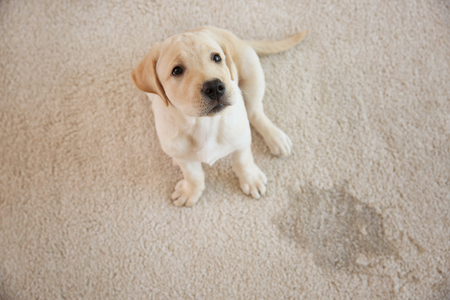 Photo pour Cute puppy sitting on carpet near wet spot - image libre de droit