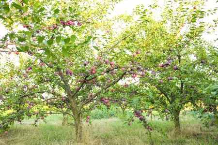 Foto per Plum tree in garden - Immagine Royalty Free