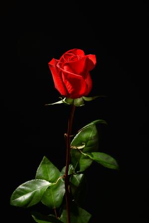 Foto de Beautiful red rose on black background - Imagen libre de derechos