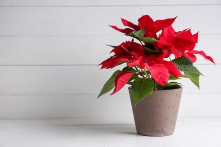 Photo pour Christmas flower poinsettia on white table - image libre de droit