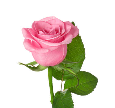 Photo for Beautiful blooming rose on white background - Royalty Free Image