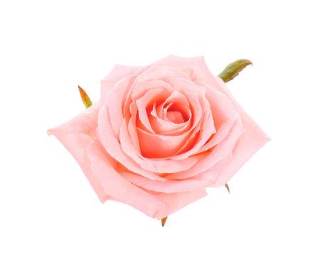 Photo for Beautiful rose flower on white background - Royalty Free Image