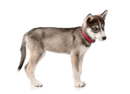 Photo pour Cute husky puppy on white background - image libre de droit