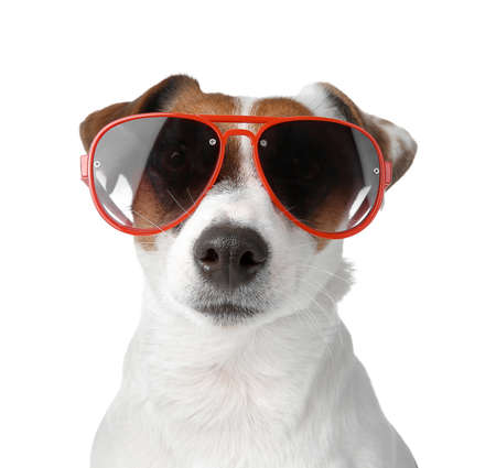 Photo pour Cute Jack Russell Terrier with stylish sunglasses on white background - image libre de droit