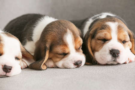 Photo for Cute beagle puppies sleeping on sofa - Royalty Free Image