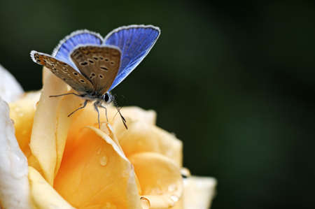 Photo pour blue butterfly on yellow flower                                    - image libre de droit