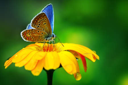Photo for blue butterfly on yellow flower                                     - Royalty Free Image