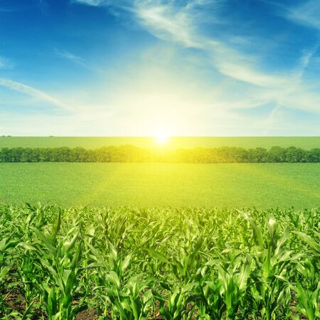 Photo for Beautiful sunset on corn field - Royalty Free Image