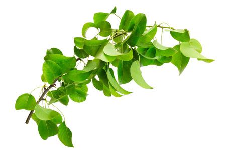 Foto für branch of pear isolated on a white background - Lizenzfreies Bild