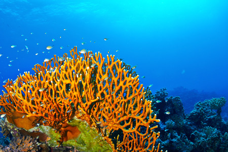 Dichotomy fire coral (Millepora dichotoma) in the Red Sea, Egypt.