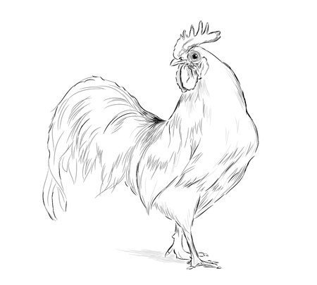 Illustration pour Vector Rooster black and white on a white background - image libre de droit