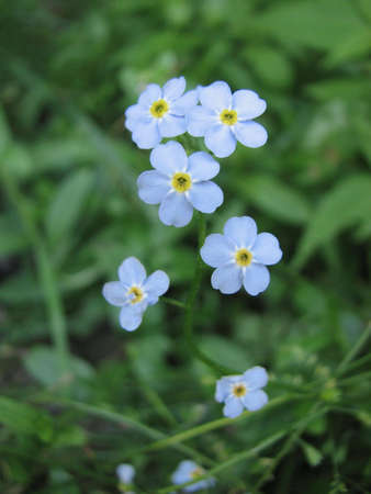 Forget-me-not on green background