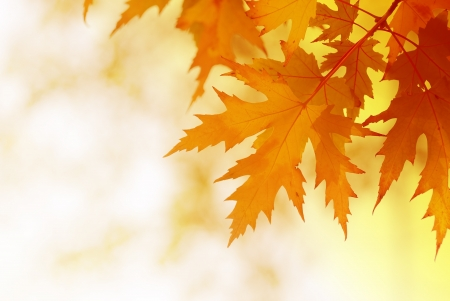 autumn maple leaves on blurred background