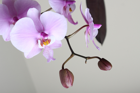 Photo for Beautiful Pink Orchid background light beige - Royalty Free Image