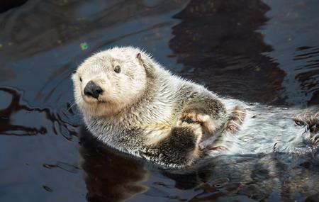 Photo pour Kalan Sea otter (Enhydra lutris) swim on his back in water  - image libre de droit
