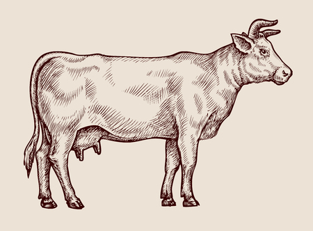 Illustration pour Sketch cow, dairy farm. Hand drawn vector illustration - image libre de droit