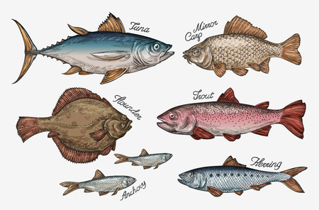 Illustration pour Seafood. Collection fish such as tuna, trout, carp, flounder, anchovy herring Vector illustration - image libre de droit