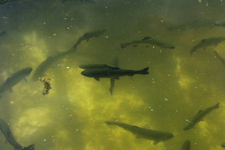 A large group of fish circling in a gloomy pond, a view from above of the river trout and sturgeon on a fish farm.