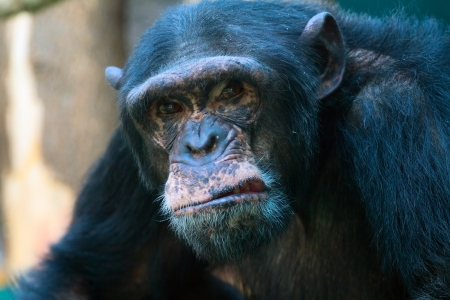 The closeup of angry chimpanzee looking at camera