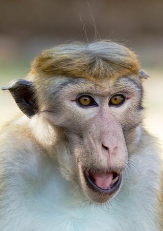 Ceylon  macaque or macaque Bonnet in nature