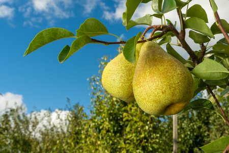 Foto für Pear fruit. Close up of a tree with a crop against blue sky and green garden. Industrial Gardening - Lizenzfreies Bild