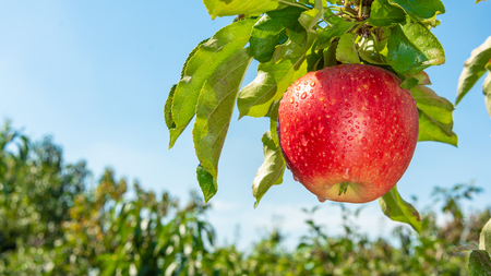 Photo for branch of ripe red apples close-up.  concept of successful organic gardening - Royalty Free Image