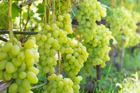 Foto für bunch white grapes close-up macro. Autumn harvest concept in industrial garden. - Lizenzfreies Bild