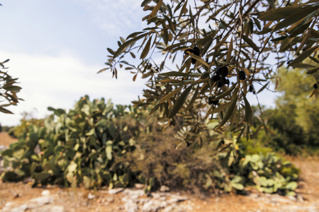 Fig trees in the countryside near the medieval white village of Ostuni