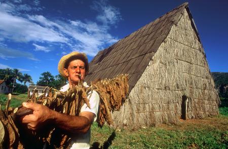 Pinar de Rio Cuba Cuban tobacco farming farm cigar cigars plantation leaf leafs. Tobacco plantation and drying shed, Pinar del Rio province, Cuba.
