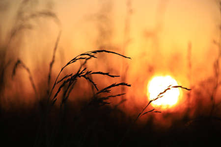 Silhouette of grass against the golden sunset background in summer time