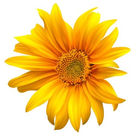 Ilustración de Sunflower flower vector  - Imagen libre de derechos