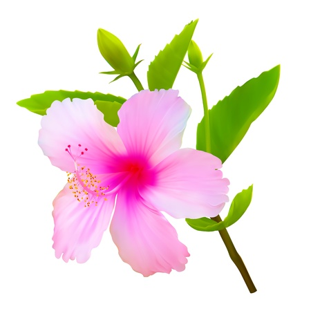 Illustration for Hibiscus tropical flower. Vector plant blossom - Royalty Free Image