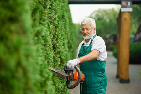 Older handsome gardener trimming white cedar using patrol hedge trimmer in garden. Cheerful gray haired bearded man wearing in special green overalls and protective glasses, cutting bushes near house.