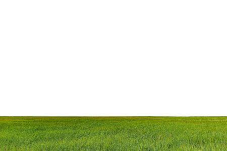 Foto de Green field with rye isolated on white background. - Imagen libre de derechos