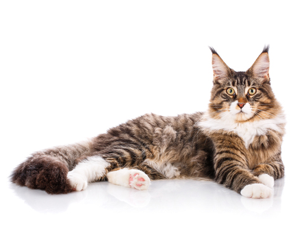 Maine Coon. The largest cat. A big cat. Maine Coon