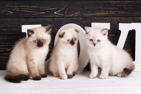Scottish straight and scottish fold kittens  Background with