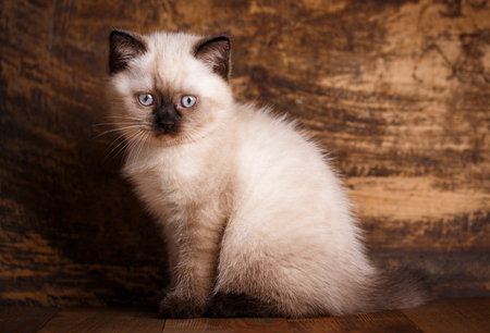 Scottish straight cat cream color  Background with kitten